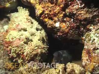 pacific_stone_fish
