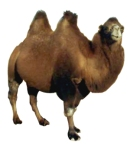 bactrian-camels1