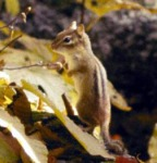 chipmunk_fall