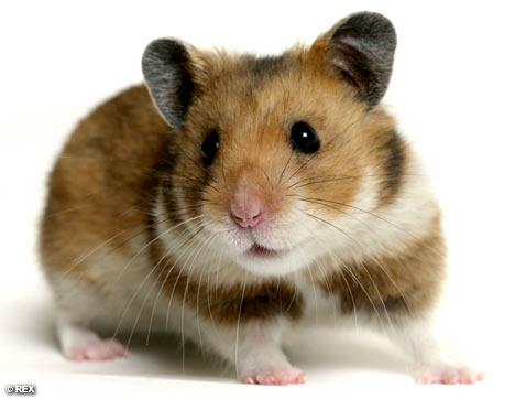 http://ibexinc.files.wordpress.com/2009/04/hamster.jpg