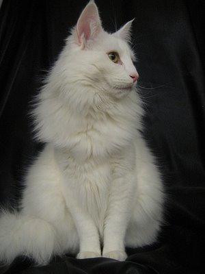 My Cats & Dogs Norwegian-forest-cat-noeoracio-6