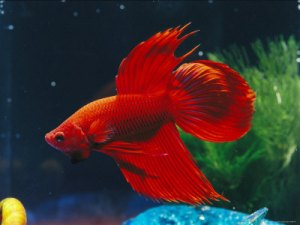 a-red-siamese-fighting-fish-in-an-aquarium