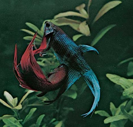 FightingFish