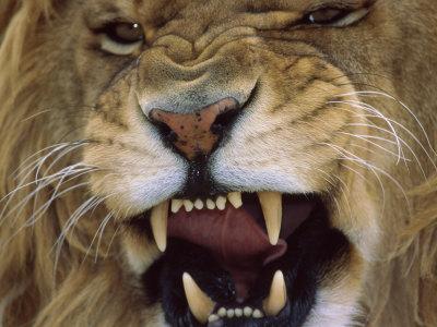 growling-male-lion