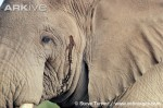 African-elephant-bull-in-musth