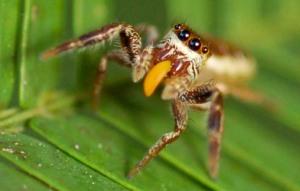 bagheera-spider